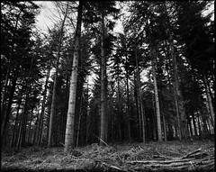 Pillars (derScheuch) Tags: wood trees bw mamiya film analog forest germany geotagged deutschland 50mm shanghai 180 200 mf analogue 6x7 rodinal wald bume oldenburg rz67 niedersachsen lowersaxony standdevelopment sekor gp3 wildenloh standentwicklunrg geo:lat=53119795 geo:lon=8117769