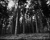 Pillars (derScheuch) Tags: wood trees bw mamiya film analog forest germany geotagged deutschland 50mm shanghai 180 200 mf analogue 6x7 rodinal wald bäume oldenburg rz67 niedersachsen lowersaxony standdevelopment sekor gp3 wildenloh standentwicklunrg geo:lat=53119795 geo:lon=8117769