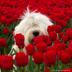 pee ka boo (dewollewei) Tags: old flowers red dog english nose spring sheepdog bobtail oes oldenglishsheepdog oldenglishsheepdogs tullips top20dogs bubls colorphotoaward sweetexpressions platinumheartaward dewollewei beerzerveld coth5 highqualitydogs sweetexpressionsmadeingermany