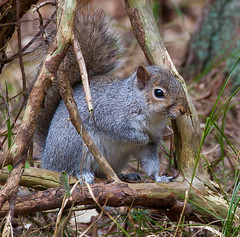 Holding on 366 day 91 (Geographyman) Tags: nature woodland holding squirrel wildlife hoarding canon70300mml
