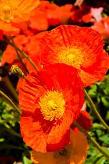 Papavero - 6812 (Roberto Bertolle) Tags: flowers italy flower nature italia natura roberto fiori fiore umbria papaveri terni petalo papavero anfiteatrofausto bertolle robertolle robertobertolle dapetaloapetaloilgiardinoneltempo