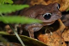 Montane Litter Frog (Leptobrachium montanum) (Thomas H Brown) Tags: mountain wildlife amphibian frog toad malaysia borneo sabah kinabalu anura leptobrachiummontanum