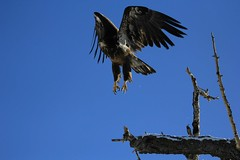 Young Bald Eagle taking flight (K Fletcher) Tags: canada calgary bird baldeagle raptor alberta inglewood