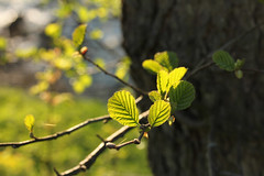 Hervorbrechen - Bursting Out Life (gripspix (OFF)) Tags: leaves log newborn twig bltter neu stamm zweig 20130426