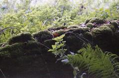 . (dichohecho) Tags: trees film leaves stone wall analog analogue ferns pentaxmesuper fujisuperia400 westonbirtarboretum ubuphotosoc roll59 dichohecho