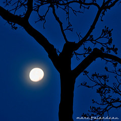 SPRING MOON (marc falardeau) Tags: morning moon tree dawn spring nikon sunday full april amateur gayphotographer d300s westofyonge
