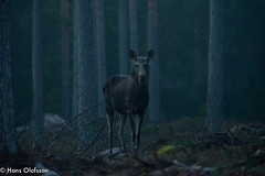Älg  /Moose (Hans Olofsson) Tags: däggdjur elk moose natur nature skog animal djur älg morninglight gryning vilt wildlife mooseinthemistyforest mistyforest