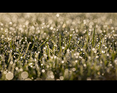 Dew so early (DHaug) Tags: morning grass sunrise early bokeh dew shimmering greely
