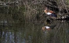 Nile goose (KF-Photo) Tags: bird pentax crop spiegelung vogel baggersee weiher nilegoose nilgans tamron1750 kirchentellinsfurt k20d