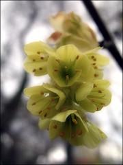 (Tölgyesi Kata) Tags: corylopsis díszmogyoró winterhazel füvészkert botanikuskert botanicalgarden withcanonpowershota620 corylopsisveitchiana budapest tél
