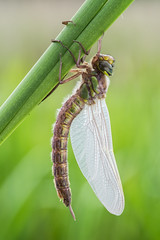 Why is it called the HAIRY dragonfly? (Prajzner) Tags: morning macro nature nikon dragonfly poland naturallight manfrotto anisoptera sigma105mmmacro photonature hairydragonfly nikond7100 velbonmagslider prajzner manfrottomt190xpro3