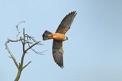 Red Footed Falcon (Ady G.) Tags: canon wildlife dorset falcon birdofprey redfootedfalcon 1d4 500f4