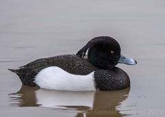 Tufted Duck (DAJ Natural Images) Tags: bird nature birds duck wildlife birding tufted birdwatching slimbridge wildfowl
