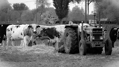 There's no snooze button on a cow who wants breakfast (babs van beieren) Tags: white black monochrome cow farm