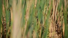 Male Least Bittern (Ixobrychus exilis) singing (Steve Arena) Tags: male bird birds massachusetts marsh volunteer concord usfws 2016 leastbittern middlesexcounty upperpool ixobrychusexilis lebi marshbird marshbirds gmnwr concordimpoundments marshbirdsurvey marshbirding