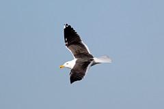 Lesser Black-backed Gull (NickWakeling) Tags: nature birds wildlife gull norfolk rspb lesserblackbackedgull canonef400mmf56lusm canon60d strumpshawfen
