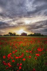 Papaveri al vento.. (gionatatammaro) Tags: flowers sunset sky italy flower verde green primavera clouds nikon tramonto nuvole natura poppies fiori fiore rosso papaveri papavero d610