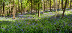 Austy Wood Panoramic 03 (Photograferry) Tags: flowers trees nature sunshine bluebells forest woodland spring colourful warwickshire