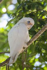 Long-billed Corella (vk2gwk - Henk T) Tags: bird animal australia nsw nelsonbay longbilled corella cacatuatenuirostris