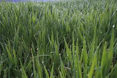 Morgentau (julia_HalleFotoFan) Tags: gras tautropfen morgentau