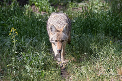 Coyote approaching (Maja's Photography) Tags: coyote nature animals closeup canon walking wildlife sigma