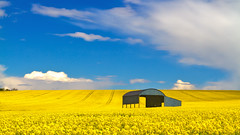 Sixpenny Handley Barn in a Yellow Rapeseed Canola Field with Blue Sky (mpelleymounter) Tags: yellow clouds barn landscape spring bluesky dorset canola rapeseed dutchbarn rapeseedoil sixpennyhandley dorsetlandscape markpelleymounter