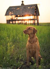 A New Day (Erik Johnson Photography) Tags: sunset red dog sunlight green abandoned colors grass yellow barn sunrise puppy nebraska labrador glow post bokeh farm farming orb saturation interstate i80 goldenhour reclaimed vibrance
