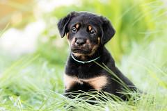 Akiro (Maria Zielonka) Tags: dog puppy photography mix puppies fotografie fotografieren outdoor shepherd maria hund doberman hybrid mischling welpe schferhund dobermann welpen zielonka schferhunddobermann