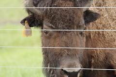 Buffalo, Fermilab. 9 (EOS) (Mega-Magpie) Tags: usa brown america canon fence eos illinois buffalo dupage il batavia kane fermilab winfield bison 60d