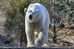 I feel the earth move under my feet  (ucumari photography) Tags: bear animal mammal zoo oso march nc north polarbear carolina nikita eisbr ursusmaritimus oursblanc 2016 osopolar ourspolaire orsopolare specanimal ucumariphotography dsc0963 sbjrn