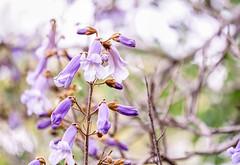 (Light Echoes) Tags: flower philadelphia outdoors zoo spring blossom bokeh sony may lavender bloom philadelphiazoo 2016 a6000