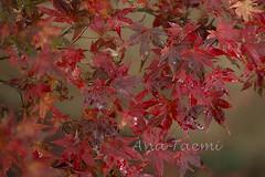 ATU_4312_Acer palmatum_LR (Ana Taemi) Tags: fall natureza japanesemaple acerpalmatum outono camposdojordo serradamantiqueira momidi bordojapons