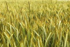 WEIZENFELD IM SOMMER (PADDYSCHMITT.DE) Tags: weizen weizenfeld oberschwaben