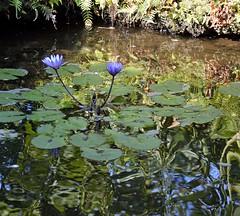 Lt. Blues (ACEZandEIGHTZ) Tags: park plants plant flower water miami waterlilies southdade fruitandspicepark