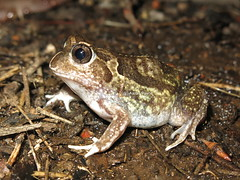 Sudell's Trilling Frog (Neobatrachus sudelli) (Heleioporus) Tags: new southwest wales south frog slopes trilling neobatrachus sudelli sudells