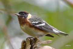 Bay-breasted Warbler (male breeding) (jt893x) Tags: male bird nikon sigma breeding warbler d500 songbird baybreastedwarbler mageemarsh nikond500 150600mm setophagacastanea sigma150600mmf563dgoshsms jt893x