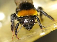 Ackerhummel / Carder Bee (Rolf Brecher) Tags: macro makro insekt nahaufnahme tier nahlinse hummel achromat powershotg1xmkii