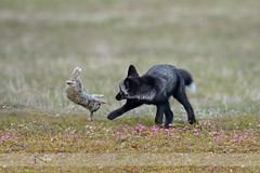 Learn to kill (Red Fox kit ) (Normsnature) Tags: animal nikon wildlife fox kits wa redfox normanngphotography nikond800e