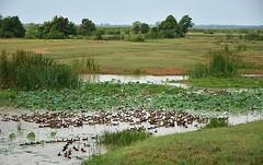 The duck convention! (Tungmay (Keep Calm and Take Photos)) Tags: lake landscape thailand nikon ducks d7200