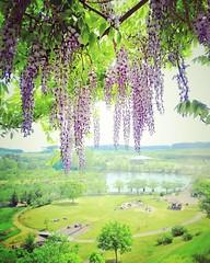 wisteria (akashirokiiro) Tags: flower japan aomori wisteria   japanesewisteria  xperia oirasetown