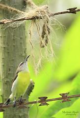 Dreams over odds (muntasir025) Tags: bird aves bangladesh sunbird wildlifephotography chalcopariasingalensis rubycheekedsunbird muntasirakash