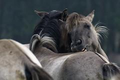 Mustangs and Wild Horses - 2016-0041_Web (berni.radke) Tags: horse pony mustang pferd nordrheinwestfalen colt wildhorse foal fohlen croy herde dlmen feralhorses wildpferdebahn merfelderbruch merfeld przewalskipferd wildpferd dlmenerwildpferd equusferus wildpferdefang dlmenerpferd dlmenpony herzogvoncroy wildhorsetrack