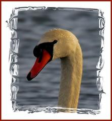 white swan (Duncan the road rebel) Tags: white bird water swan outdoor beak feathers feather headshot wildanimal mute muteswan wildbird