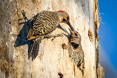 Flicker Feeding Time (jeremy.mudd) Tags: bird feeding flicker northernflicker