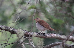 Veery (jd.willson) Tags: nature birds wildlife birding maine jd willson islesboro veery jdwillson