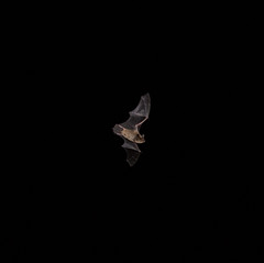 Bat from my balcony (iaakisa) Tags: bat frommybalcony