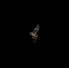 Bat from my balcony (iaakisa) Tags: bat frommybalcony