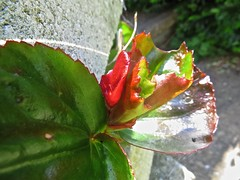 IMG_1639 (Andy panomaniacanonymous) Tags: 20160603 babybegonia bbb fff flowers garden ggg red rrr