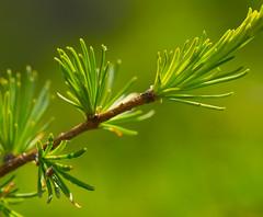 Tamarack (Larix laricina) (wackybadger) Tags: tree wisconsin nikon branch tamarack usda usfs usforestservice usnationalforest larixlaricina chequamegonnicoletnationalforest ashlandcounty wisconsinstatenaturalarea nikond3300 nikon105mmf28gafsmacro11vr sna428