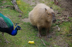 San Francisco Zoo 376 (Michael Fraley) Tags: capybara